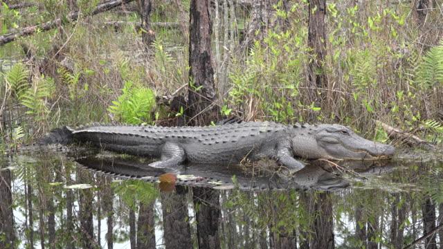 georgia okefenokee alligator lies on bank.mov - okefenokee national wildlife refuge stock videos and b-roll footage
