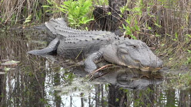 georgia okefenokee alligator looks up - okefenokee national wildlife refuge stock videos and b-roll footage