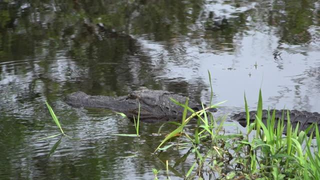 georgia okefenokee alligator lying in water - オケフェノキー国立野生生物保護区点の映像素材/bロール