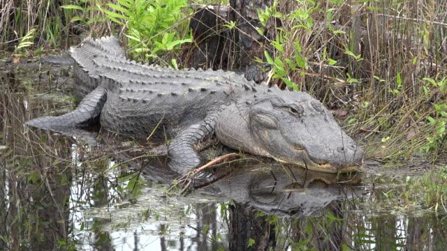 georgia okefenokee alligator opens eye - オケフェノキー国立野生生物保護区点の映像素材/bロール