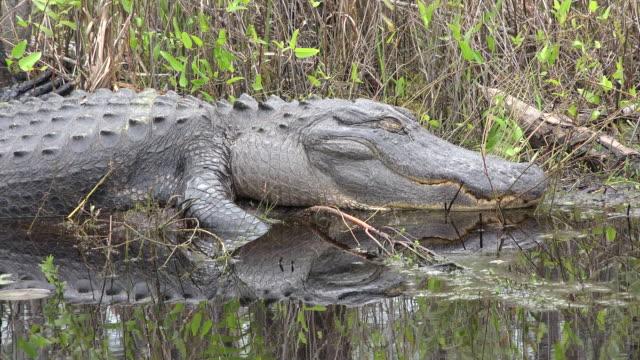 georgia okefenokee alligator opens eye - okefenokee national wildlife refuge stock videos and b-roll footage