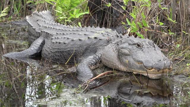 georgia okefenokee alligator raises head pan - okefenokee national wildlife refuge stock videos and b-roll footage