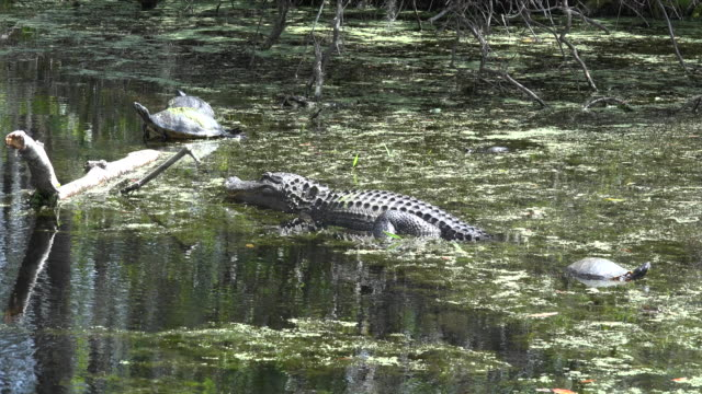 georgia okefenokee alligator watches turtles - okefenokee national wildlife refuge stock videos and b-roll footage