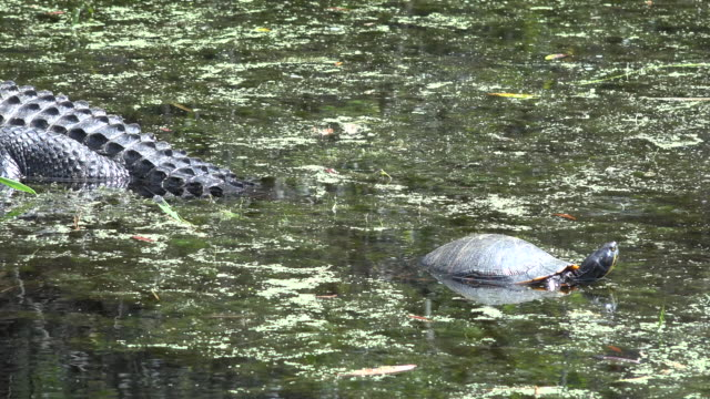 georgia okefenokee alligator with a turtle zoom in - okefenokee national wildlife refuge stock videos and b-roll footage