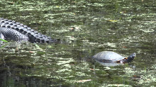 georgia okefenokee alligator with a turtle zoom in - オケフェノキー国立野生生物保護区点の映像素材/bロール