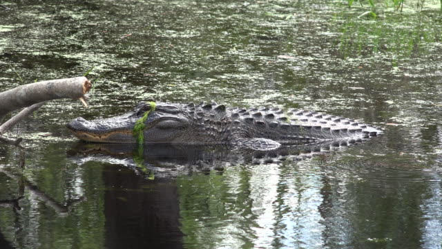 georgia okefenokee alligator with scum on head - okefenokee national wildlife refuge stock videos and b-roll footage