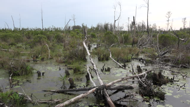 georgia okefenokee cut over area in swamp.mov - okefenokee national wildlife refuge stock videos and b-roll footage