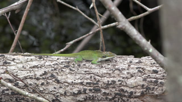 georgia okefenokee green lizard leaps to branch.mov - okefenokee national wildlife refuge stock videos and b-roll footage