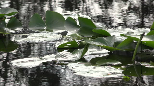 georgia okefenokee lily pads and reflections pan - オケフェノキー国立野生生物保護区点の映像素材/bロール