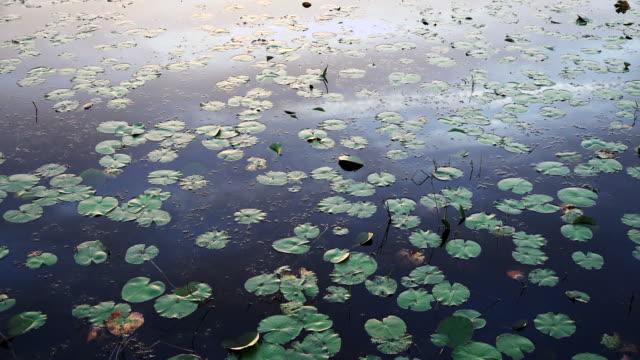 georgia okefenokee many lily pads zoom in.mov - オケフェノキー国立野生生物保護区点の映像素材/bロール