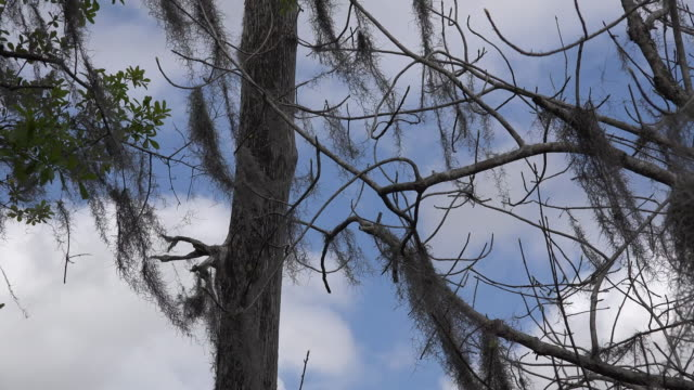 georgia okefenokee spanish moss on branches - spanish moss stock videos & royalty-free footage