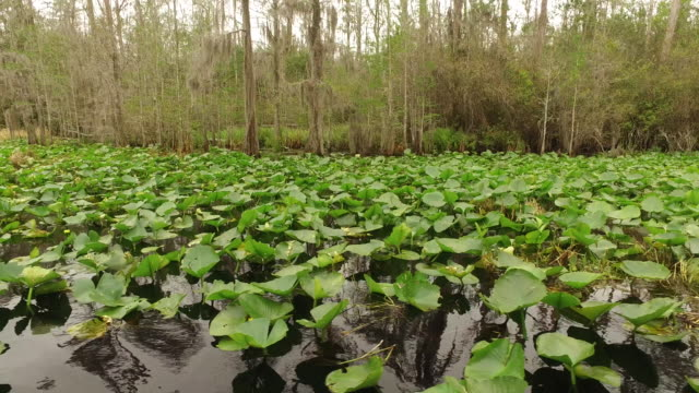 Georgia Okefenokee tilts to lily pads