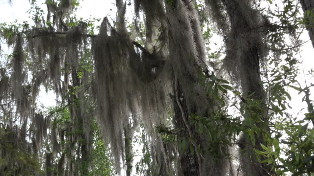 georgia okefenokee tree with spanish moss pan - okefenokee national wildlife refuge stock videos and b-roll footage