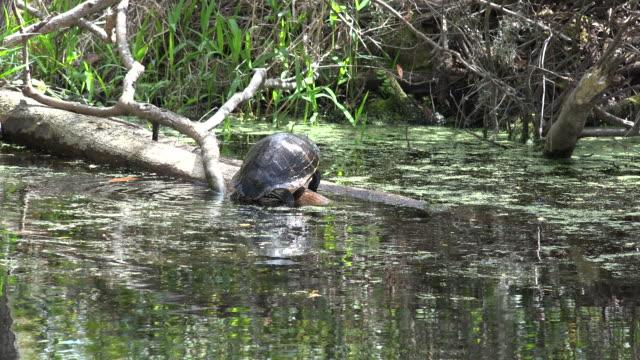 georgia okefenokee turtle climbs on log - オケフェノキー国立野生生物保護区点の映像素材/bロール