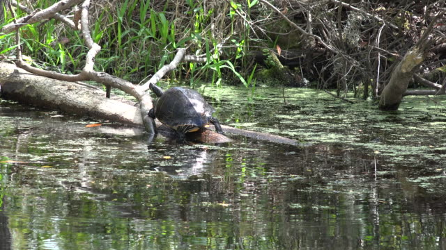 georgia okefenokee turtle walks on log - okefenokee national wildlife refuge stock videos and b-roll footage