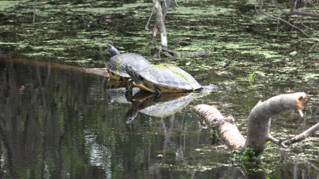 georgia okefenokee turtles reflected in water - okefenokee national wildlife refuge stock videos and b-roll footage