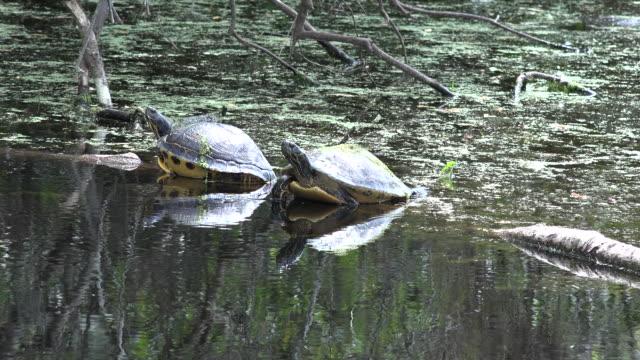 georgia okefenokee turtles sit on log in murky water zoom in - okefenokee national wildlife refuge stock videos and b-roll footage