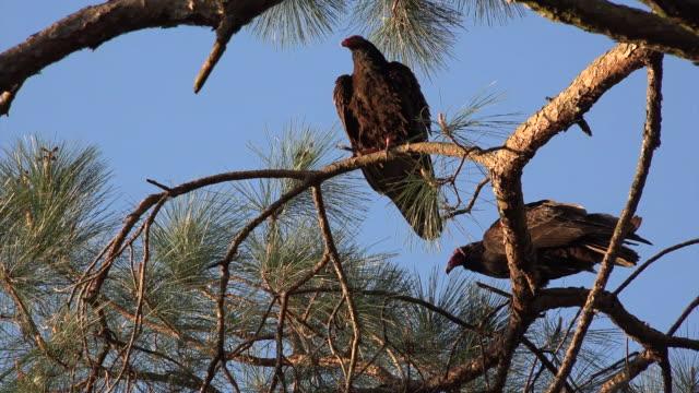 georgia okefenokee vultures lurk in pine tree zoom in - okefenokee national wildlife refuge stock videos and b-roll footage