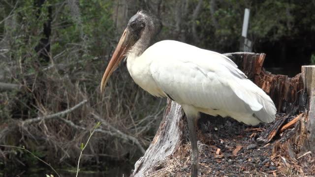 georgia okefenokee white stork zoom in - okefenokee national wildlife refuge stock videos and b-roll footage
