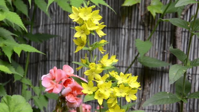 ms geranium and yellow lysimachia vulgarisflowering in garden / landshut, bavaria, germany - ゼラニウム点の映像素材/bロール