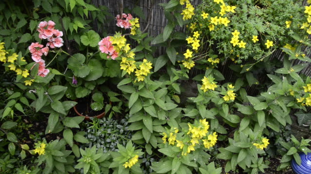 ms pan geranium and yellow lysimachia vulgarisflowering in garden / landshut, bavaria, germany - ゼラニウム点の映像素材/bロール