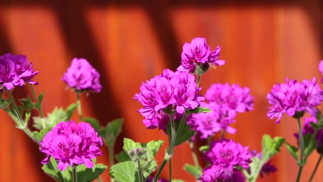 geranium flowers in a holehird gardens, greenhouse, windermere, uk. - ゼラニウム点の映像素材/bロール