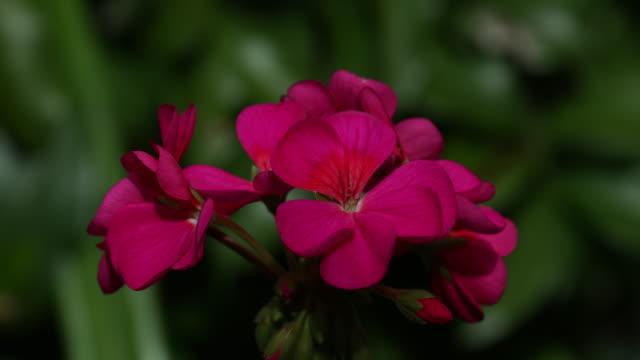 geranium in full bloom closeup - ゼラニウム点の映像素材/bロール