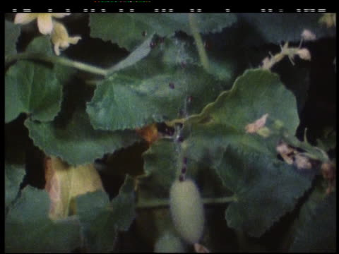 geranium phaeum flowers open - ゼラニウム点の映像素材/bロール