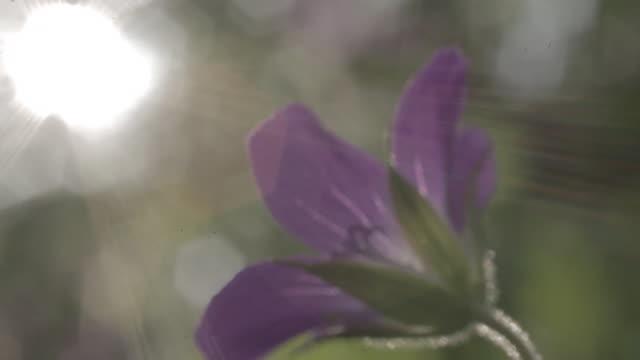 geranium sylvaticum, mayflower - ゼラニウム点の映像素材/bロール