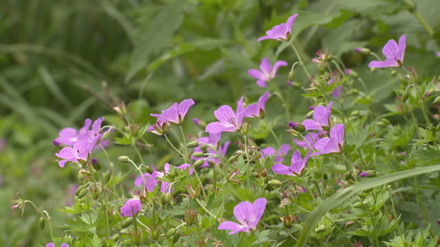 geranium yesoemse var. nipponicum - yamagata prefecture stock videos & royalty-free footage