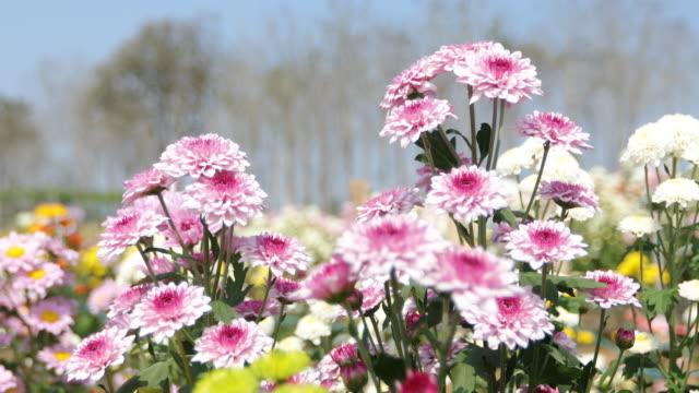 gerbera daisy flowers in spring - chrysanthemum stock videos & royalty-free footage