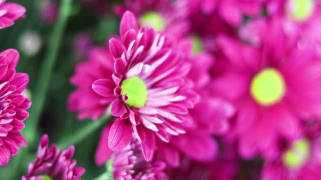 vidéos et rushes de gerbera daisy fleurs au printemps - plein cadre