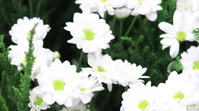 Gerbera Daisy Flowers in spring