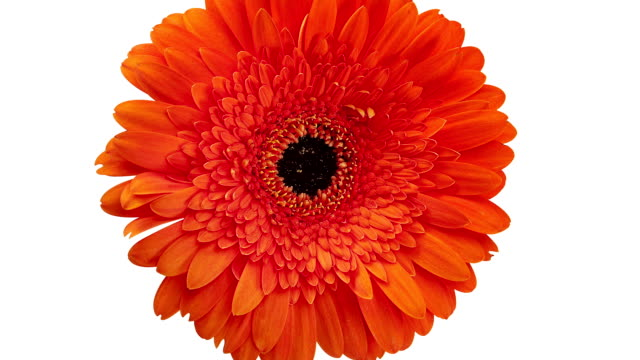 vidéos et rushes de gerbera orange - marguerite