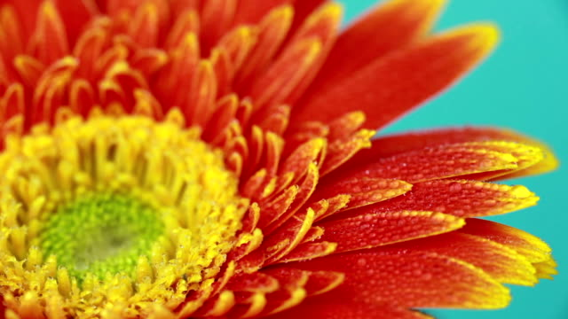 gerbera daisy orange - daisy stock videos and b-roll footage