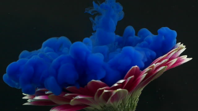 gerbera flower and blue ink underwater - tintura video stock e b–roll