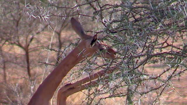 Gerenuk, gazelle, eating acacia leaves close up, Kenya
