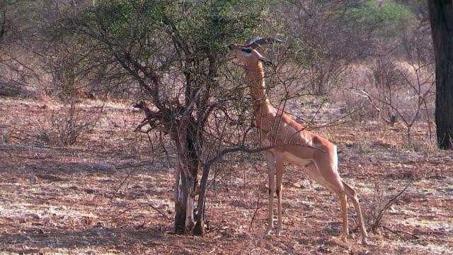 Gerenuk male, eating acacia leaves, gazelle, Kenya