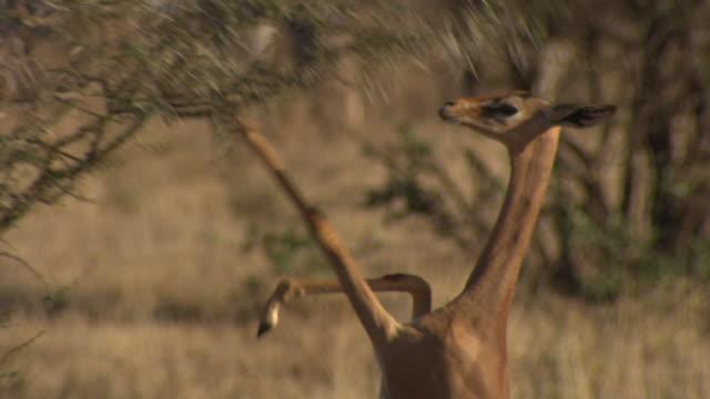 Gerenuk (Litocranius walleri) standing on hindlegs to browse, Kenya
