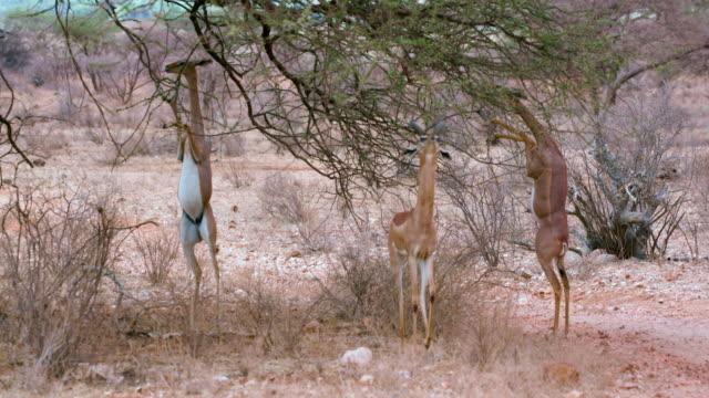 Gerenuks On Hind Legs Grazing Samburu  Kenya  Africa