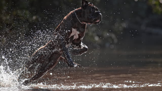 slo mo ts german boxer fetching in the water - boxer dog stock videos and b-roll footage