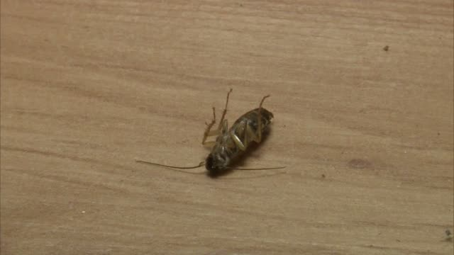 german cockroaches - wirbelloses tier stock-videos und b-roll-filmmaterial