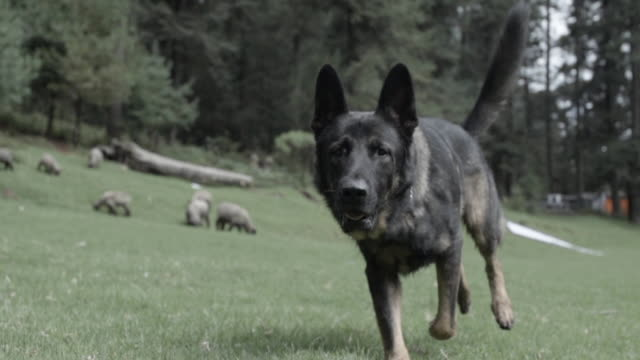 german shepherd dog running in slow motion toward camera in sheep pasture - desaturated stock videos & royalty-free footage