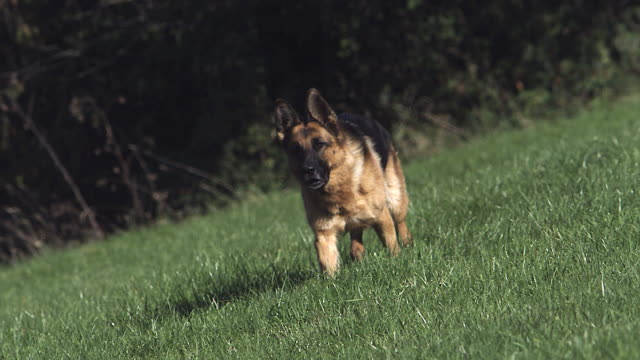 MS SLO MO TS German Shepherd Dog running on Grass / Vieux Pont, Normandy, France
