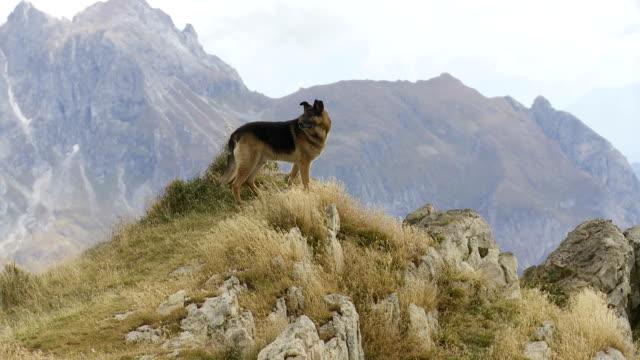 vidéos et rushes de berger allemand chien regardant les montagnes élevées - en haut