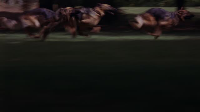 stockvideo's en b-roll-footage met german shepherd guard dogs running fast across the lawn of an estate. - vier dieren