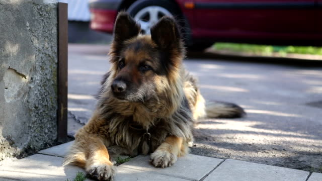 german shepherd guarding the yard. the dog rests in the shade. - shade stock videos & royalty-free footage