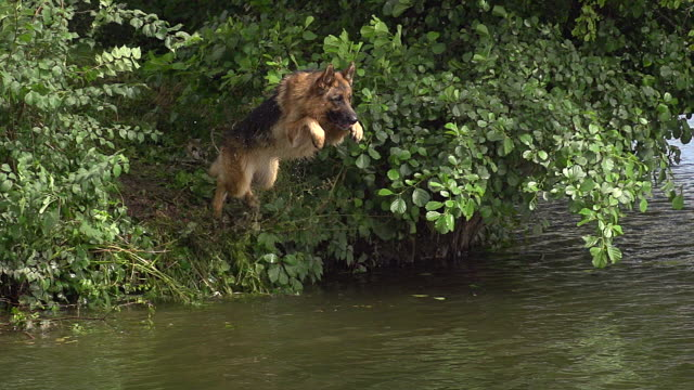 MS SLO MO German Shepherd leaping into River / Normandy, France, Europe