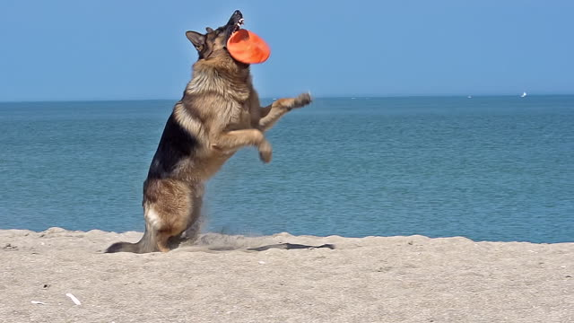MS SLO MO TS German Shepherd Male catching frisbee at beach / Calvados, Normandy, France