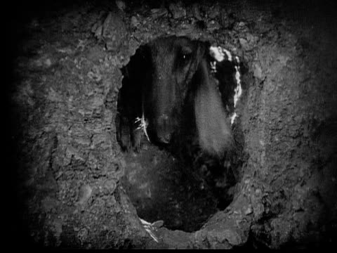 1926 b/w cu german shepherd peeking its head through hole / usa - 1926 stock videos & royalty-free footage